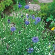 Mr Fothergill's Cornflower Wild Cornflower (150 Pack)