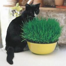 Mr Fothergill's Cat Grass Seeds (25g Seeds)