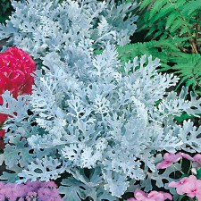 Mr Fothergill's Cineraria Silver Dust Seeds (200 Pack)