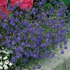 Mr Fothergill's Lobelia Sapphire Trailing Seeds (2000 Pack)