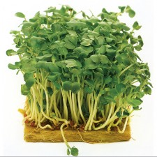 Mr Fothergill's Sprouting Seed Mustard White (2500 Pack)