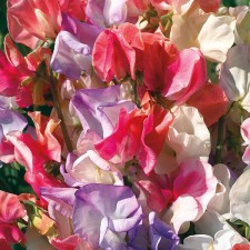Mr Fothergill's Sweet Pea Incense Mixed Seeds (35 Pack)