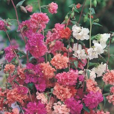 Mr Fothergill's Clarkia Choice Double Mixed Seeds (1500 Pack)