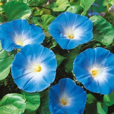 Mr Fothergill's Morning Glory Heavenly Blue Seeds (45 Pack)