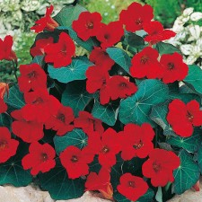 Mr Fothergill's Nasturtium Empress of India Seeds (25 Pack)