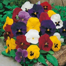 Mr Fothergill's Pansy Mr F's Early Mixed F1 Seeds (50 Pack)