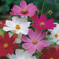 Mr Fothergill's Cosmos Sensation Mixed Seeds
