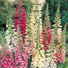Mr Fothergill's Foxglove Excelsior Mixed (2500 Pack)