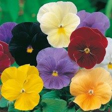 Mr Fothergill's Pansy Clear Crystals Mixed Seeds (120 Pack)