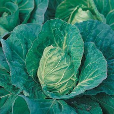 Mr Fothergill's Cabbage Greyhound Seeds (500 Pack)