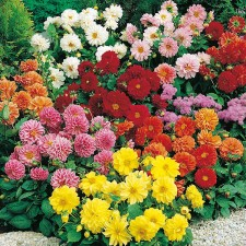 Mr Fothergill's Dahlia Figaro Mixed Seeds (40 Pack)
