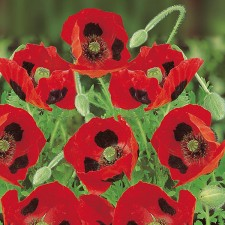 Mr Fothergill's Poppy Ladybird Seeds (1000 Pack)
