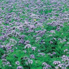 Mr Fothergill's Green Manure Phacelia Tanacetifolia 39g