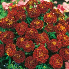 Mr Fothergill's Marigold (French) Red Cherry Seeds