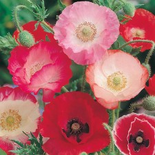 Mr Fothergill's Poppy Shirley Single Mixed Seeds (1500 Pack)