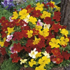 Mr Fothergill's Mimulus Extra Choice Mixed Seeds (2500 Pack)