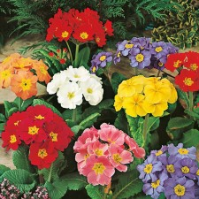 Mr Fothergill's Polyanthus Large Flowered Mixed Seeds (100 Pack)