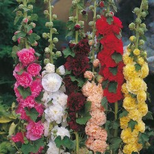 Mr Fothergill's Hollyhock Chaters Double Mixed Seeds (50 Pack)