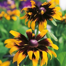 Mr Fothergill's Rudbeckia Aries Seeds (500 Pack)