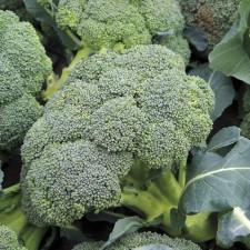 Mr Fothergill's Broccoli (Autumn) Covina (50 Pack)