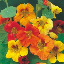 Mr Fothergill's Nasturtium Trailing Mixed Seeds (35 Pack)