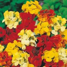 Mr Fothergill's Wallflower Dwarf Bedding Mixed Seeds (500 Pack)